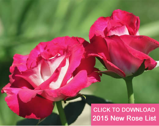 New Roses and descriptions