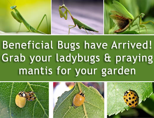 beneficial insects are here