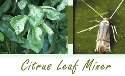Citrus leafminer