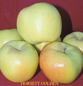 Apple Dorsett Golden