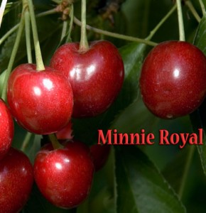 cherry minnie royal
