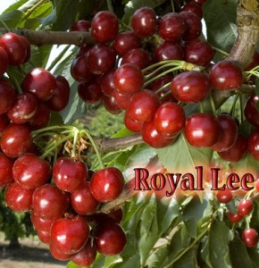 cherry royal lee