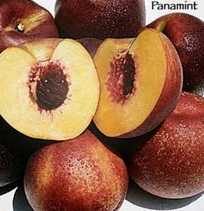 nectarine panamint