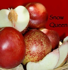 nectarine snow queen