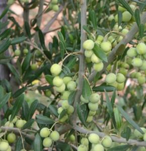 olive arbosana