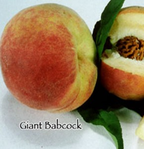peach giant babcock