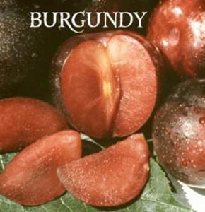 plum burgundy