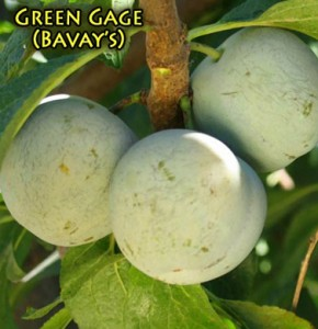 plum green gage
