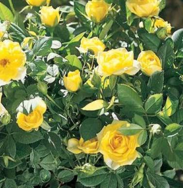 yellow-sunblaze